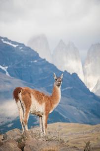 パタゴニアの動物:グアナコとトーレスデルパイネ峰の写真素材 [FYI01810163]