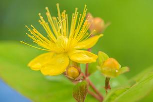 コボウズオトギリの花の写真素材 [FYI01810182]