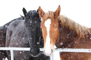 冬の馬の写真素材 [FYI01810191]