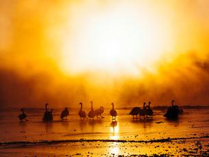 白鳥と太陽の写真素材 [FYI01810197]