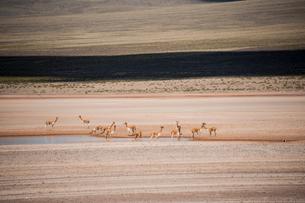 アンデス高原のビクーニャの群れの写真素材 [FYI01810204]