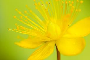 コボウズオトギリの花の写真素材 [FYI01810210]