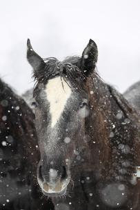冬の馬の写真素材 [FYI01810222]