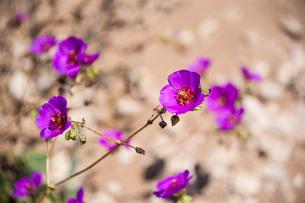アタカマ砂漠の花園に咲く、パタデグアナコの写真素材 [FYI01810245]