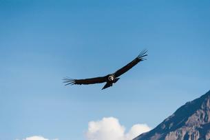 コルカキャニオンのコンドル成鳥の写真素材 [FYI01810253]
