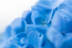 紫陽花(あじさい)の青い花の写真素材 [FYI01810262]