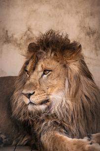 ライオンの写真素材 [FYI01810324]