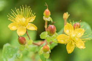 コボウズオトギリの花の写真素材 [FYI01810388]