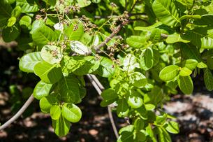 レンソイスのカシューナッツの葉の写真素材 [FYI01810405]