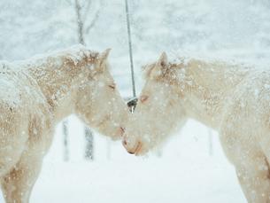 雪の日の白馬の写真素材 [FYI01810439]