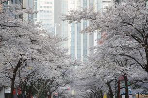 日本橋さくら通りの桜並木の写真素材 [FYI01810493]