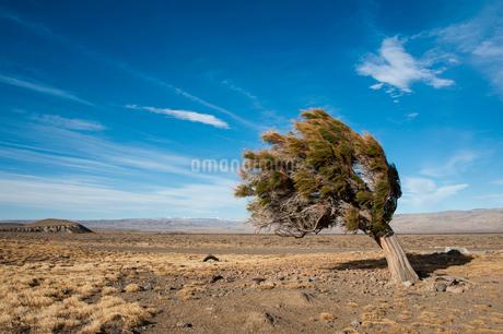 パタゴニアの強風の斜めの木の写真素材 [FYI01810517]