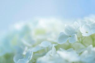 紫陽花(あじさい)の青い花の写真素材 [FYI01810531]