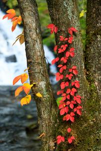 ツタウルシの紅葉の写真素材 [FYI01810560]