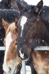 雪の日の馬の写真素材 [FYI01810561]