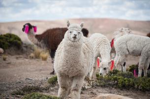 アンデス高原のアルパカの群れの写真素材 [FYI01810585]