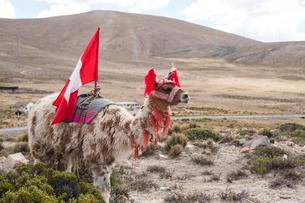 飾りを付けたリャマの群れのリーダーの写真素材 [FYI01810634]