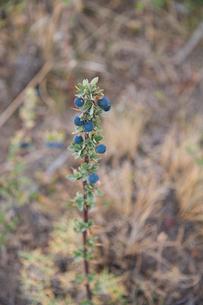 パタゴニアの植物:カラファテの実の写真素材 [FYI01810653]