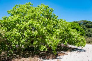 レンソイスのカシューナッツの木の写真素材 [FYI01810673]