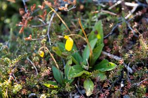 パタゴニアの花:トパトパの写真素材 [FYI01810749]