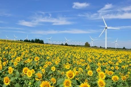 布引高原の青空と風車とひまわり畑の写真素材 [FYI01810846]