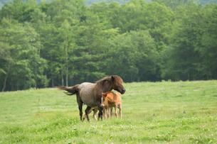 馬の親子の写真素材 [FYI01811001]