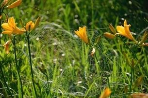 ニッコウキスゲ,蜘蛛の巣の写真素材 [FYI01811002]