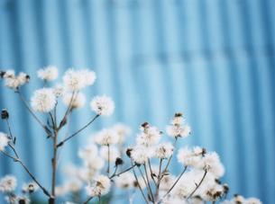 街並の中の白い花の写真素材 [FYI01811064]