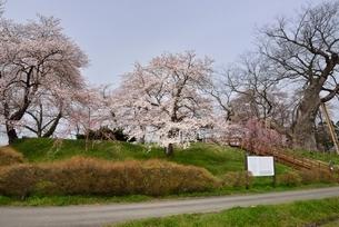 会津若松、神指城跡と桜の写真素材 [FYI01811095]