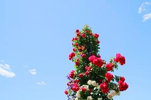 横浜の公園の赤い花と青い空の写真素材 [FYI01811375]