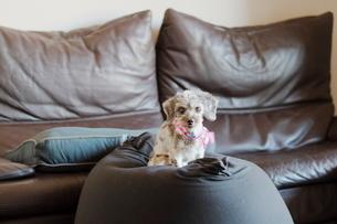 シルバーダップルのミックス犬の写真素材 [FYI01811544]