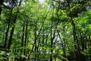 緑豊かな軽井沢の森の写真素材 [FYI01811615]