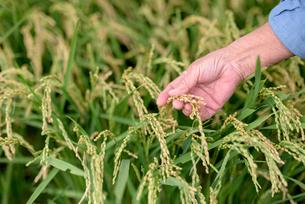 稲穂を確認するシニア女性の手の写真素材 [FYI01811714]