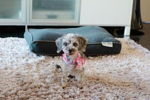 シルバーダップルのミックス犬の写真素材 [FYI01811722]