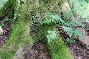 軽井沢の森の木株の写真素材 [FYI01811778]