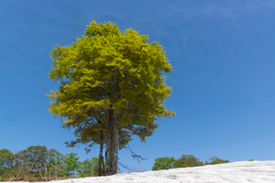 残雪に立つブナの大木の写真素材 [FYI01811811]