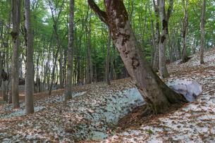 新緑のブナ林と残雪の根明けの写真素材 [FYI01811927]