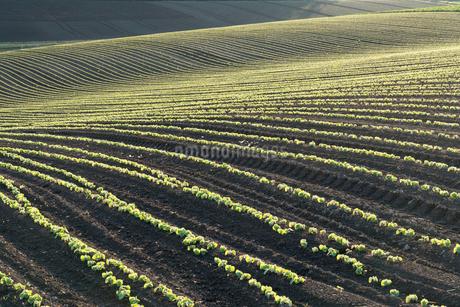 美瑛の丘の小豆畑の写真素材 [FYI01811996]