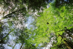 軽井沢の森から空を見上げての写真素材 [FYI01812004]