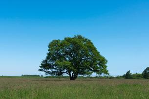 牧草地のハルニレの大木の写真素材 [FYI01812077]