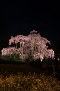 三春の滝桜ライトアップの写真素材 [FYI01812101]