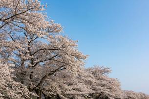 北上展勝地の桜並木の写真素材 [FYI01812123]