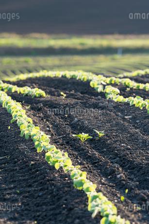 美瑛の丘の小豆畑の写真素材 [FYI01812125]