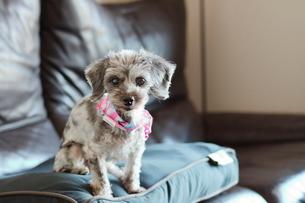 シルバーダップルのミックス犬の写真素材 [FYI01812201]