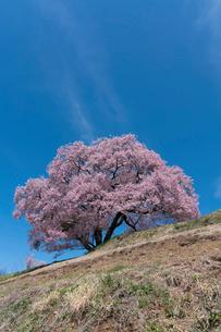 上の平城跡の一本桜の写真素材 [FYI01812209]