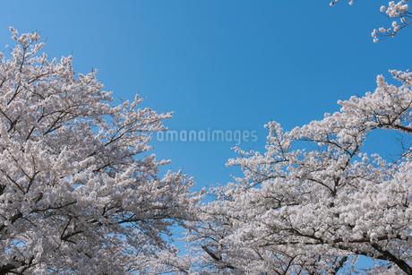 北上展勝地の桜並木の写真素材 [FYI01812283]