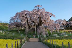 満開の三春の滝桜の写真素材 [FYI01812285]