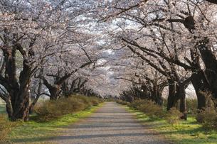 北上展勝地の桜並木の写真素材 [FYI01812292]