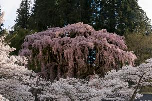福聚寺(ふくじゅうじ)の枝垂れ桜の写真素材 [FYI01812307]