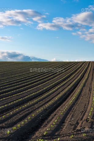 美瑛の丘の小豆畑の写真素材 [FYI01812343]